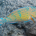 Bluebarred Parrotfish, initial phase - Scarus ghobban