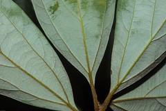 Neolitsea dealbata (dustaway) Tags: lauraceae neolitseadealbata whitebollygum undersides leaves venation australianrainforestplants rainforest victoriaparknaturereserve dalwood alstonvilleplateau northernrivers nsw nature australia arfp qrfp nswrfp subtropicalarf littoralarf leaf