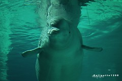 I see a beluga for the fist time (GALINETTE1208) Tags: d5200 beluga belouga océanographic valencia valence cetacean marineland 2016 yulka kylu kairo whales dolphin underwater show reflexion see play interaction parc water dauphins spectacle espagne espana baby white