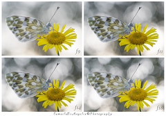 f (Samuele81) Tags: diaframma macro macrofotografia pontia edusa natura nature ngc nikon nikonnaturephotography natur tamron 90mm butterfly farfalla fotografianaturalistica fotografia foto f9 f11 f14 f18
