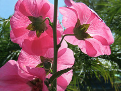 Behind the Hollyhocks (Bennilover) Tags: flowers flower february california hollyhock pink backview frombehind pov funny sunny sunshine