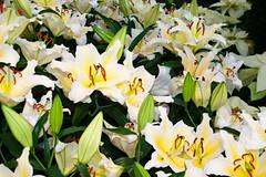 CW225 Longwood Gardens Flowers (listentoreason) Tags: usa white plant flower color nature america canon unitedstates pennsylvania favorites places longwoodgardens magnoliophyta angiosperm ef28135mmf3556isusm score40 plantpart