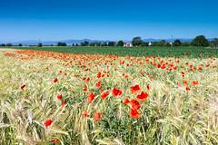 Le Champ des Poètes (Clydomatic) Tags: champs coquelicot blé