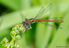 Large Red Damselfly with prey. (Crazybittern1) Tags: largereddamselfly sigma70300mmmacro nikond7000