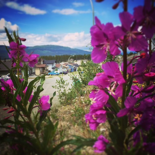 Fireweed flowers at the head of a Copper Ridge trail #yxy Fireweed is the territorial flower of #yukon and is common at burn areas, roadsides and meadows . Every part of the plant is edible, and its flowers produce high-grade honey. Source: Common Yukon R