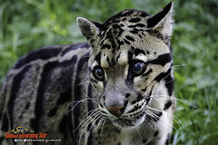A Clouded Leopard (SDSNR) Tags: cats wildlife bigcats wildanimals cloudedleopard whf