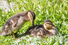 Young duck (Infomastern) Tags: bird duck duckling malm fgel geolocation pildammsparken camera:make=canon exif:make=canon exif:focallength=200mm exif:aperture=56 exif:lens=ef70300mmf456lisusm exif:isospeed=100 camera:model=canoneos100d exif:model=canoneos100d