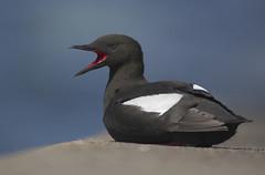 Black Guillemot (J J McHale) Tags: bird birds explore guillemot blackguillemot