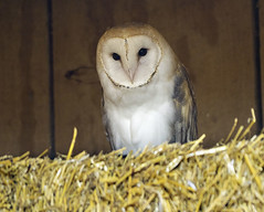 Detroit Zoo 05-18-2015 - Barn Owl 1 (David441491) Tags: bird mi barn zoo detroit owl