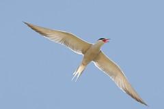 DSC_9826Visdief : Sterne pierregarin : Sterna hirundo : Fluss-Seeschwalbe : Common Tern