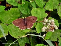 11 - Papillon le Tristan (Aphantopus hyperatus) sur mrier sauvage (LOUIS TOSSER) Tags: france fleurs bretagne pierres paysages monts finistre calvaire mgalithe darre commana