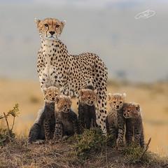 Cheetah and cups (AYMAN-ALKANDERI) Tags: africa wild cats pets love nature animal cat kenya wildlife cups mara cheetah masai ayman masaimara حيوانات قط غابة فهد الصياد افريقيا ايمن كينيا الكندري alkandari aymanalkanderi