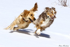 Race For The Pine Cone - Explore (Diane Marshman) Tags: winter red dog brown white snow playing motion black dogs nature animal season fur golden action pennsylvania shepherd group australian tan large running scene retriever dude size pa medium breed northeast merle thedude facebook the madie httpswwwfacebookcomgroupsthedudesdaily