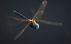 Dragonfly in flight 2-7613 (DavidGuscottPhotography) Tags: macro nature insect dragonfly outdoor flight