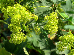 Flowering lady's mantle (Ylva Carennah) Tags: flowers plant alchemilla ladysmantle