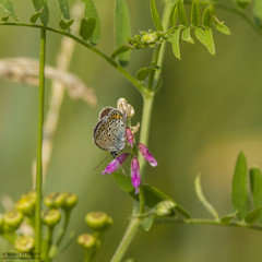 Šyša river and Rupkalviai in late summer. (_alcedo_) Tags: avrupalýesmergöz azurédescoronilles blistaviplavac borisbelchev butterflies csillogóboglárka insects kronwickenbläuling kronärtsblåvinge lakrismjeltblåvinge lepidoptera lithuania modraszeksrebroplamek modrásekpodobný modráčikvresoviskový nature plebejusargyrognomon reverdinsblue vainadzīšuzilenītis floodedmeadows wwwalcedowildlifecom šyša žydraakismelsvys άργοστουλαθουριού голубянкааргирогномон birdwatchinglithuania