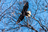 Eagles 1.1.2017-8 (alan.forshee) Tags: birds flight eagles bald trumpeter swans feathers flying launch land prey predator fish sky water fowl