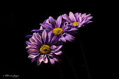 Floral Steps 1031 Copyrighted (Tjerger) Tags: nature beautiful beauty black blackbackground bloom closeup daisies daisy fall flora floral flower macro petals plant portrait purple stem steps three trio wisconsin yellow natural