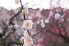 New Year (sonica@2006) Tags: new year it is plum blossom spring xm1 xf35mm fujinon fujifilm japan