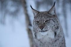The Proud Eurasian Lynx (Jason Shorten) Tags: eurasian lynx arctic norway wildlife nature animals d5300 sigma 70300mm flickr snow ice cold subzero