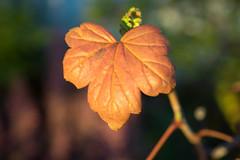 PC105619.jpg (plasticskin2001) Tags: leaf