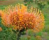 Protea (Colorado Sands) Tags: flower blossoms blommor bloemen blossoming fleurs fleur fiori flores floral flowers sandraleidholdt südafrika suráfrica sudafrica southafrica southafrican plant protea westerncape gardenroute