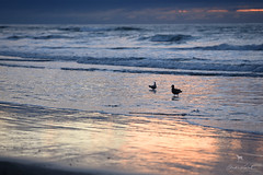 good night, seagulls (Claudia Künkel) Tags: oregon beach coast pacificocean seagull silhouette sunset seashore