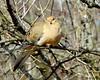 Mourning Dove (Lois McNaught) Tags: mourningdove dove bird avian nature wildlife outdoor winter hamilton ontario canada royalbotanicalgardens