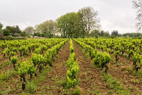 Vineyard 8049.jpg