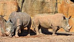Macho y hembra de rinoceronte blanco sureño (Bioparc Valencia) Tags: rinoceronte rinoceronteblancosureño bioparcvalencia bioparc sabana sabanaafricana