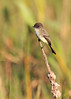 Eastern Phoebe (Bill McBride Photography) Tags: easternphoebe eastern phoebe sayornisphoebe flycatcher bird avian nature wildlife autumn december 2016 ritchgrissommemorial wetlands viera fl florida melbourne canon eos 70d ef100400l