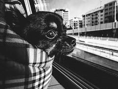 wolf like me (matthias hämmerly) Tags: zuerich zürich chihuahua dog window outside train public transport street black white candid hund hündchen littledoglaughednoiret