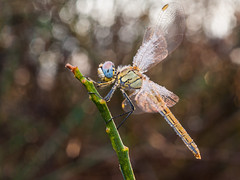 gotitas de lluvia (Santi BF) Tags: sympetrumfonscolombii sympetrum libélula libèl·lula dragonfly odonato odonata anisóptero anisoptera aproximación closeup