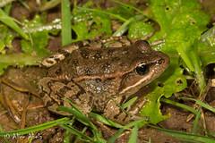 California Red-legged Frog (Rana draytonii) (aliceinwl1) Tags: amphibia amphibian anura ca california californiaredleggedfrog chordata rana ranaauroradraytonii ranadraytonii ranidae santabarbaracounty truefrog draytonii herp locnoone viseveryone