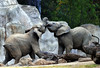 Uphill Battle (Patrick James Colorado) Tags: sandiegozoo animals sandiego elephant elephants elephantsplaying animal