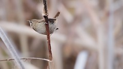 Wren (Troglodytes troglodytes) (jhureley1977) Tags: wren troglodytestroglodytes birds birding britishbirds birdsofbritain ashjhureley avibase naturesvoice rspbbirders bbcspringwatch bbcwinterwatch rspb rspbryemeads ashutoshjhureley