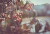 January 09, 2017 (kelly ishmael) Tags: berries neighborhood trees winter