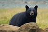 Curiosity (Blingsister) Tags: blackbear bear bearcloseup dtrump americanblackbear ursusamericanus wildblackbear wildbear blingsister melanieleesonwildlifephotography canon canonef100400mmf4556lisiiusm northernvancouverisland notazooshot