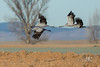Grue cendrée - Grus grus (Gallocanta, Espagne) 29 décembre 2016 (ÇhґḯṧtÖphε) Tags: 15000s 400iso 500mm aragon canon commoncrane espagne españa f56 gallocanta grue gruecendrée gruecendréegrusgrus gruidés gruiformes grusgrus pyrenées bird oiseau