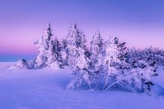 Snow Aigoual (davidparenteau) Tags: cévennes gard languedocroussillon occitanie neige hivers winter wideangle blue magenta tree forest park canon6d landscape paysage nature extérieur
