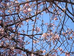 芽吹き (milch7) Tags: 梅の花 風景