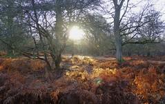 New Forest NP, Hampshire, England (east med wanderer) Tags: england hampshire uk newforestnationalpark woodland forest winter sunshine trees bracken dennywood worldtrekker