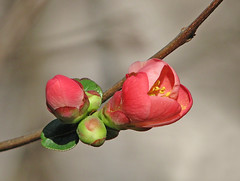 a new beginning (Vicki's Nature) Tags: floweringquince buds blossom flower pink green twocolors vickisnature yard georgia canon s5 3771 shrub twig