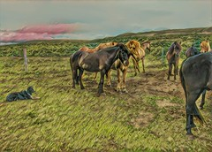 Republic of Iceland  ~ Icelandic Horses ~ Attraction Site (Onasill ~ Bill Badzo) Tags: iceland landmannalaugar route trail hiking snow mountain nature sky clouds onasill landmark historic hdr landscape july reykjavík ultramannalaugar travel tourist river canyon frame border photo outdoor serene rapids sunset golden hill mountainside cliff crag grassland field rock wild horses free range mild animal republic ponies