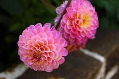 Dahlien (MaNeiKie) Tags: weis blume blüte flower natur white rosa rose romantik retro pflanze nature dahlien green pink summer macro