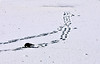 Des traces et un oiseau... (Diegojack) Tags: lausanne vaud suisse paysages hiver neige glace traces oiseaux corneilles sauvabelin