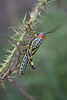 Langosta (Diego Serra) Tags: grasshopper tucura langosta saltamontes bug insecto