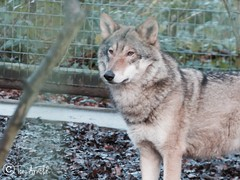 Wolf at Paradise Wildlife Park (Tønî) Tags: paradisewildlifepark cute zoos zoo canines canine wild wildanimals wildanimal animals animal wolves wolf