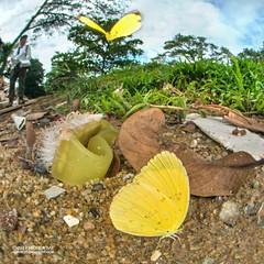 Puddling butterflies (Coliadinae) - DSC_9848 (nickybay) Tags: macro singapore jalansamkongsi pieridae coliadinae butterfly yellow fisheye cctv wideangle