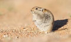 Brants's Whistling Rat (Parotomys brantsii) (George Wilkinson) Tags: brantss whistling rat brantsii karoo goegap nature reserve canon 7d 400mm wildlife mammal rodent south africa northern cape animal parotomys